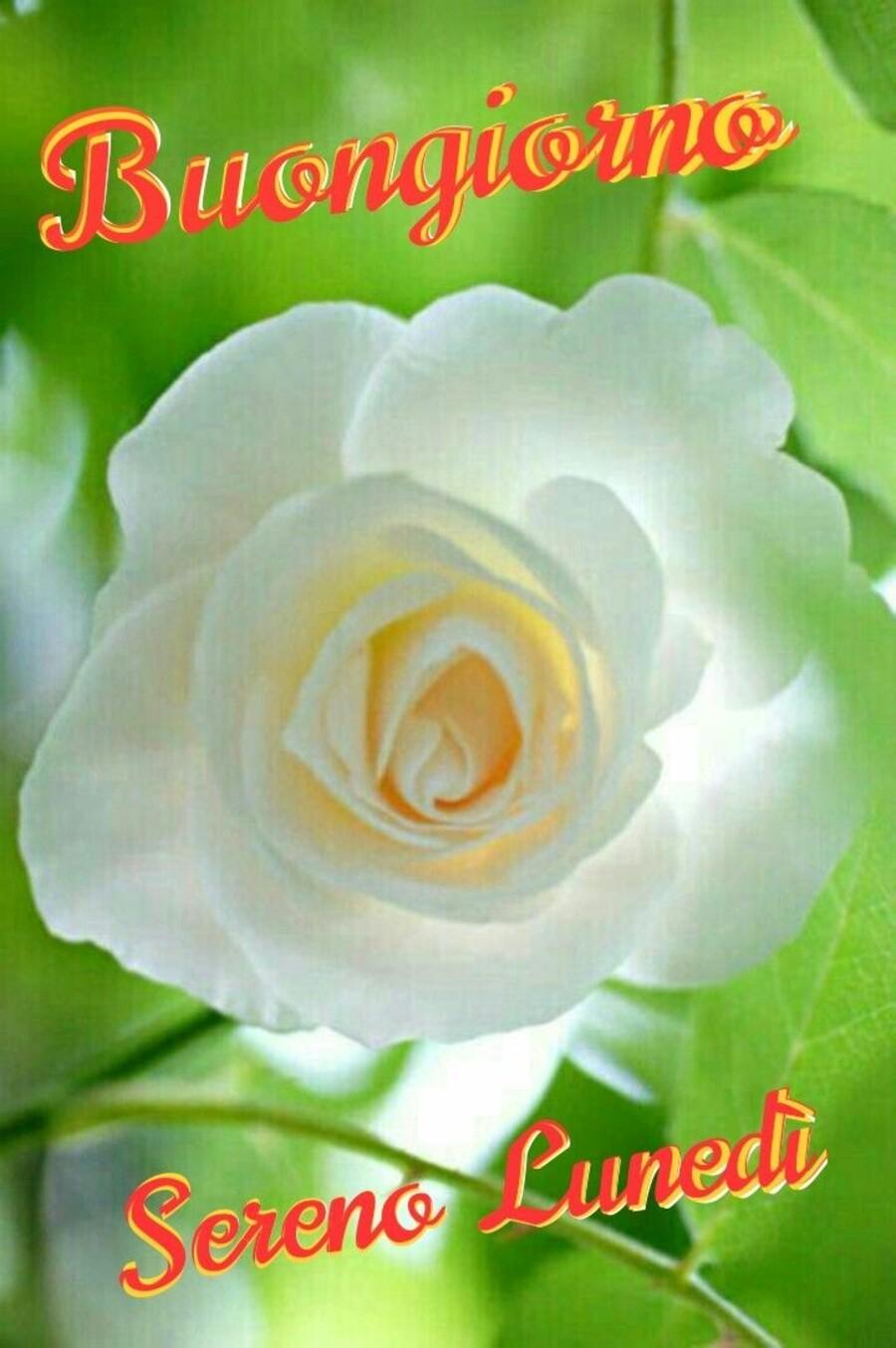 Buongiorno buon lunedì rosa bianca - Buongiorni.it